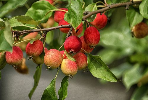 apples fruit heavenly apples