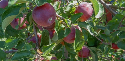 apples fruit orchard