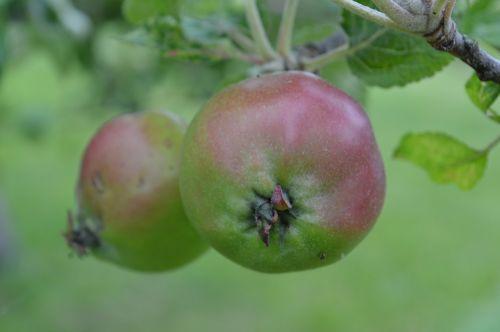apples apple tree fruit