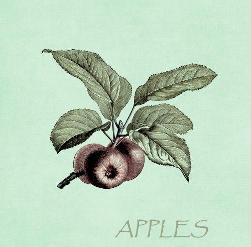 Apples On Branch Illustration