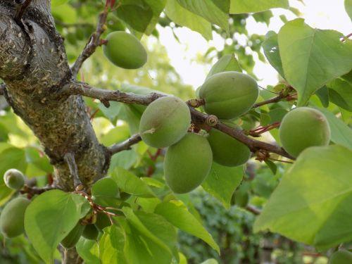 apricot tree garden