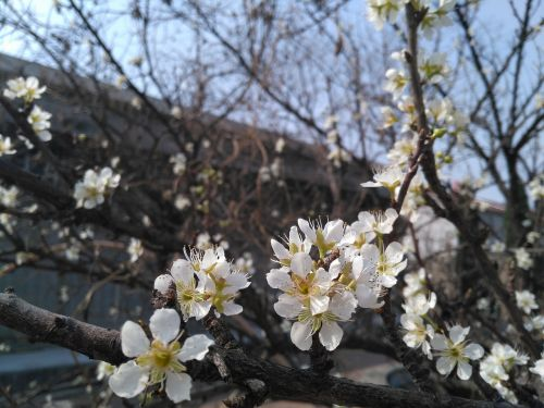 apricot spring white apricot flowers