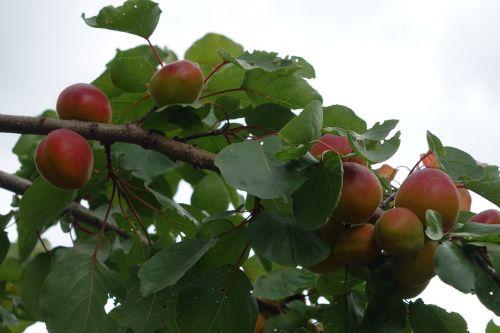 apricot apricot tree branch