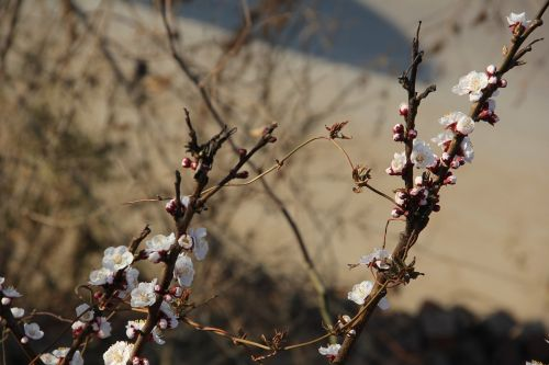apricot white apricot flowers early spring apricot flowers