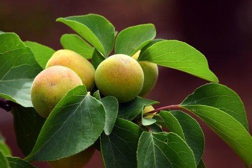 apricot  immature  fruit