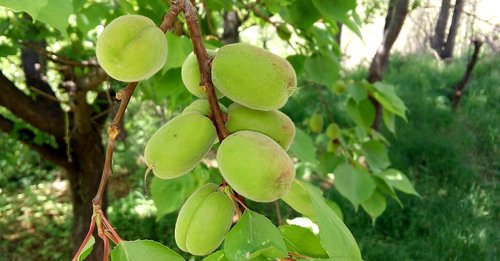 apricot  green apricot  fruit