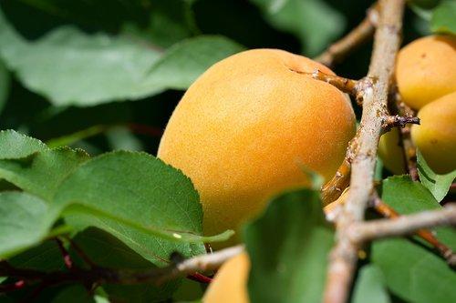 apricot  apricot tree  garden