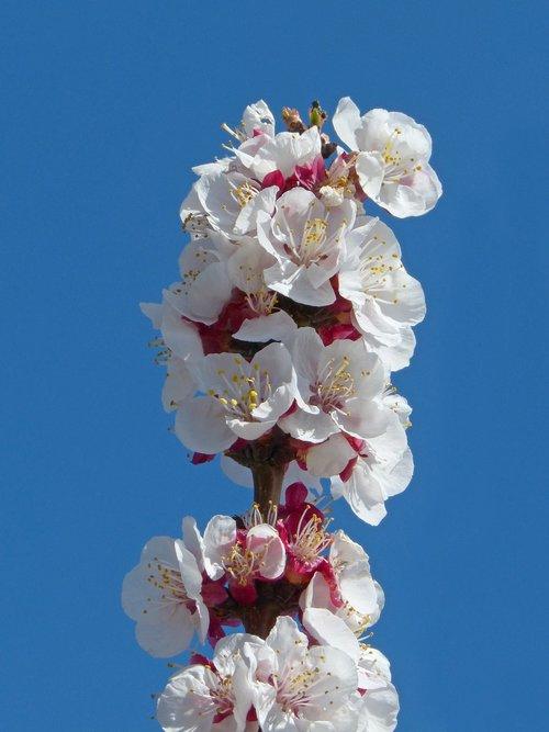 apricot  flowering tree  flowers