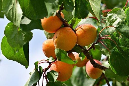 apricot  garden  delicious