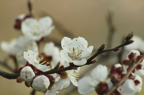 apricot blossom aesthetic red