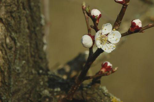 apricot blossom red white