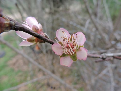 apricot blossom blossom bloom