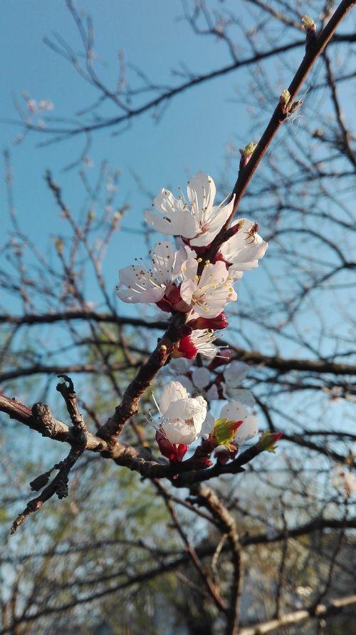 apricot blossom fruit tree blossom