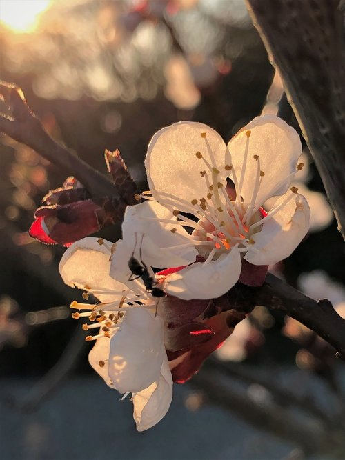 apricot flowers  apricot  tree