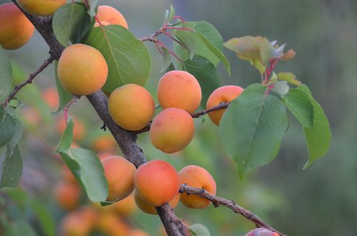 apricot tree  regenerative agriculture  woody perennial