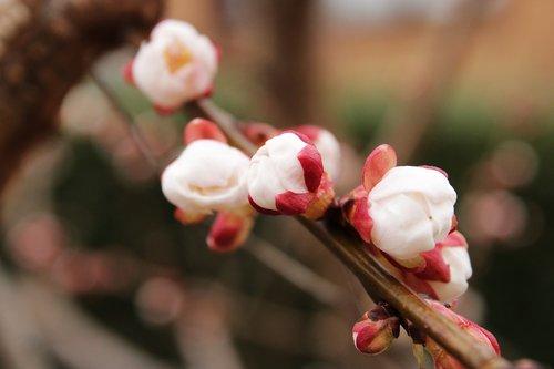 apricot tree  tree  apricots