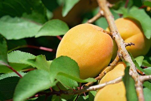 apricots  apricot  apricot tree