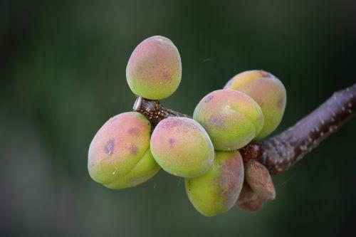 apricots fruit nature