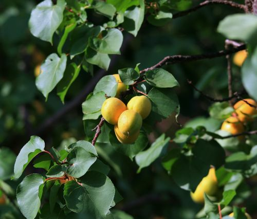 Apricots In Sunlight