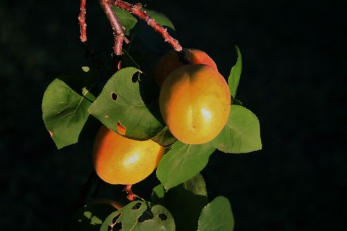 Apricots In The Sun