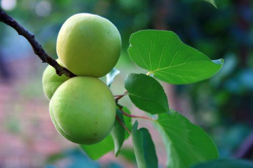 Apricots On Twig