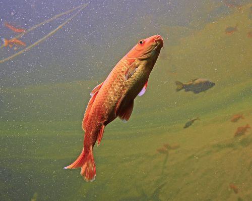 aquarium fish orange