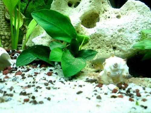 aquarium fish perch