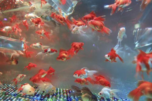 aquarium marble fish