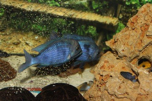 aquarium  fish  chiclet fish