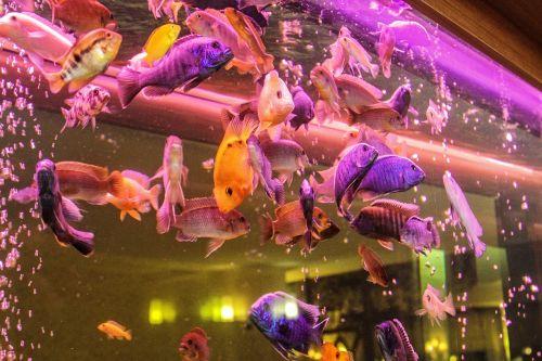 aquarium ornamental fish fish