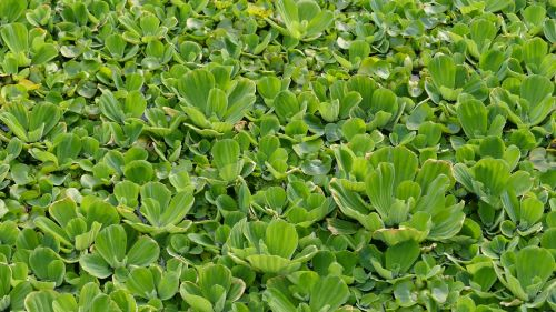 aquatic plant floating plant tropical