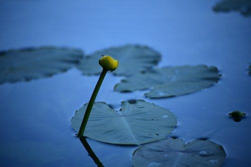 aquatic plant  nuphar lutea  pond plant