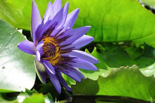 aquatic plants nymphaea alba lotus