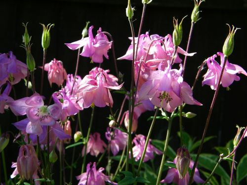 aquilegia flower granny's bonnet