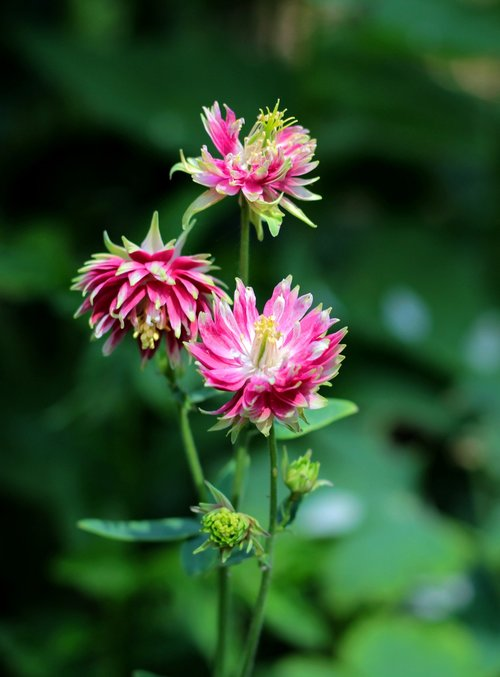 aquilegia nora barlow  akelei  rose