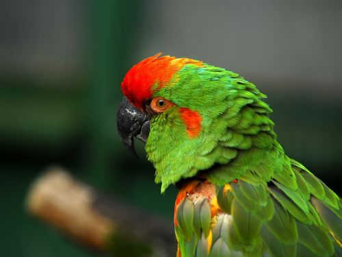 ara bird animal