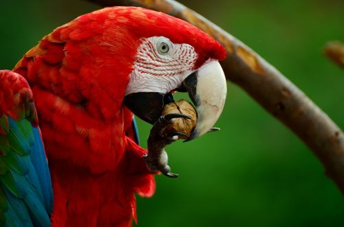 ara parrot scarlet macaw
