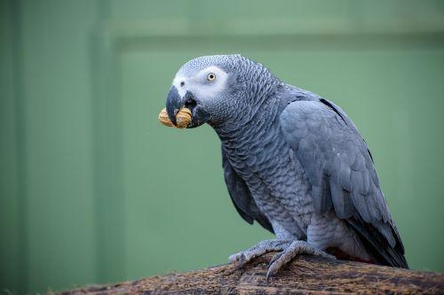 ara grey ara bird