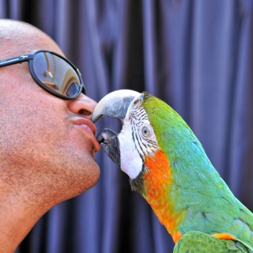 ara ararauna kiss parrot