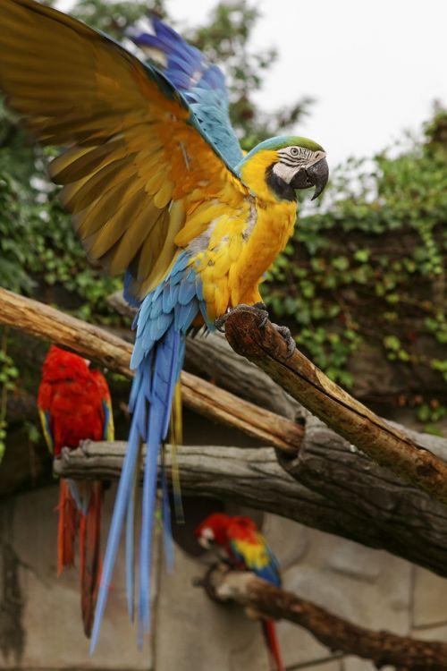 macaw ararauna parrot