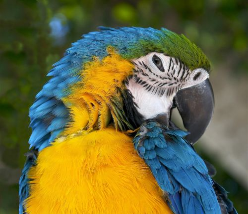 ara ararauna blue-and-yellow macaw blue-and-gold-macaw