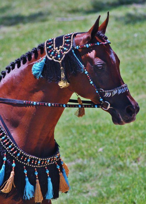 arabian arabian horses horses