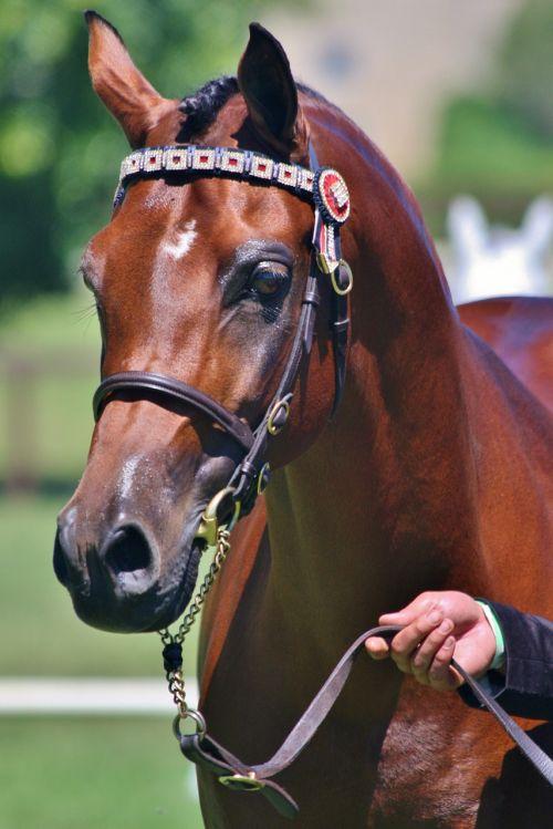 arabian stallion bay