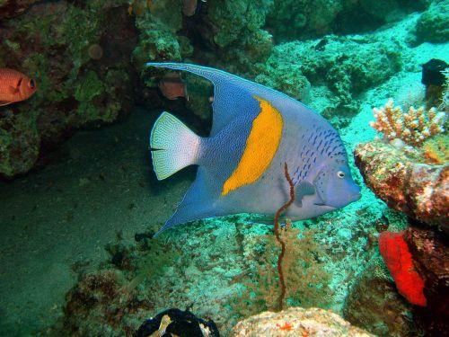 arabian angelfish fish ocean