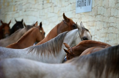 arabian horse  horses  line