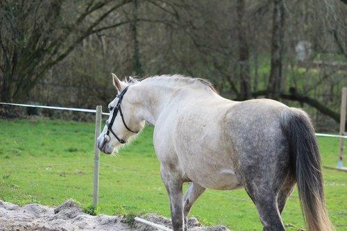 arabian horse  horses  horse