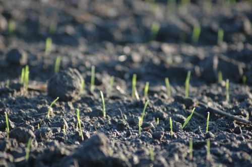 arable sprout germinate