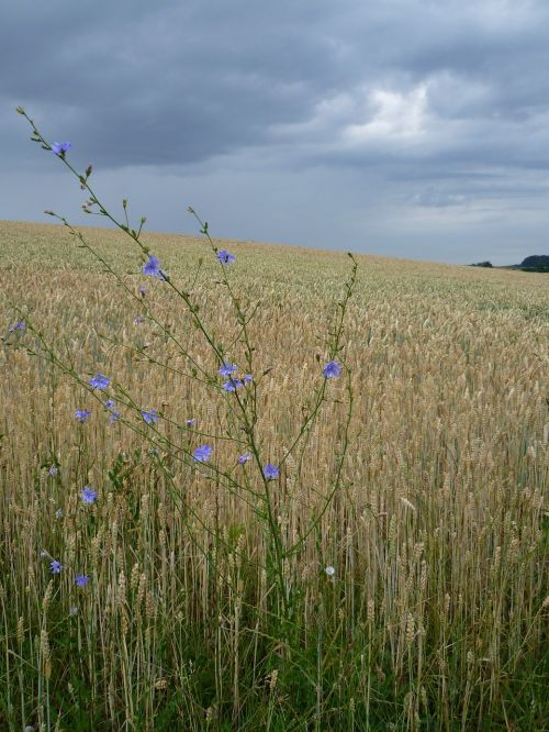 arable wheat field chicory