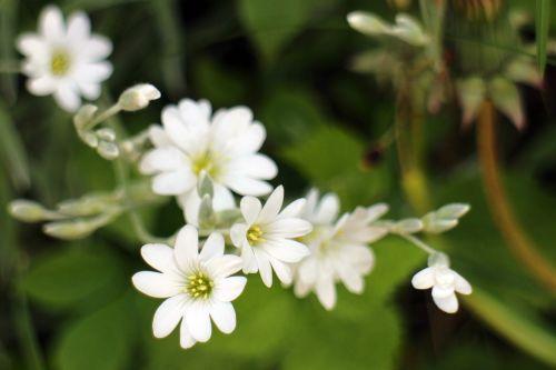 arable hornwort caryophyllaceae white