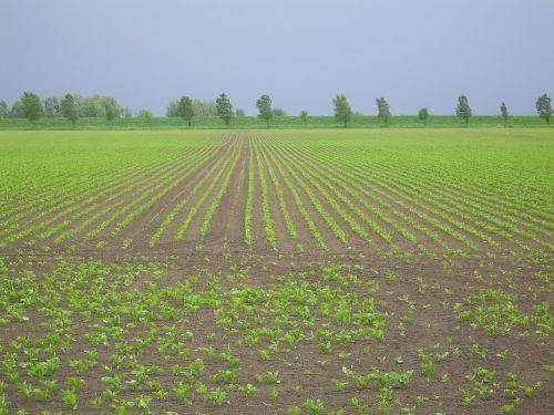 arable land diagonal worth young plantations